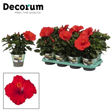 Hibiscus Premiere rood