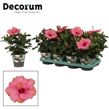 Hibiscus Sunny Venetie roze