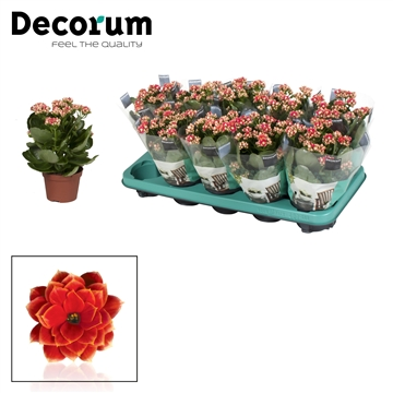 Kalanchoë Decorum - Serenity Red White