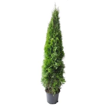 Thuja occ. Smaragd, plantmaat 160-180 cm