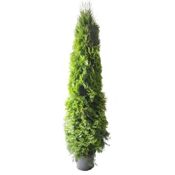 Thuja occ. Smaragd, plantmaat 180-200 cm