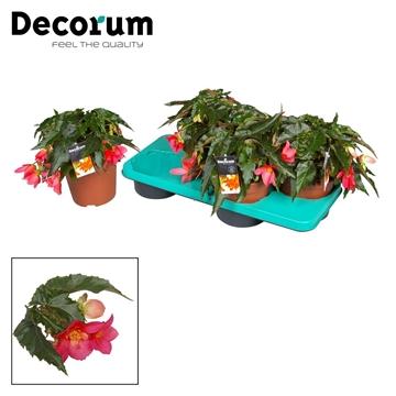 Begonia Cinta