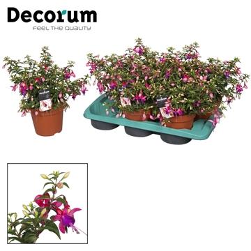 Fuchsia Rosalien rose-paars