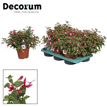Fuchsia Tinny rose-wit