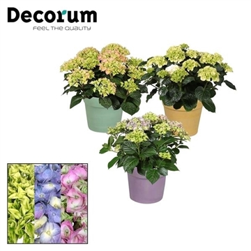 Hydrangea 10 - 15 kop in Maxim keramiek incl. waterreservoir (Decorum)