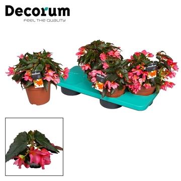 Begonia Liebe