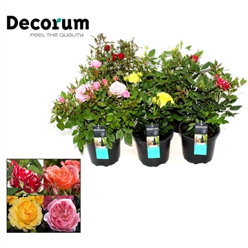 Rosa Mix Decorum P17