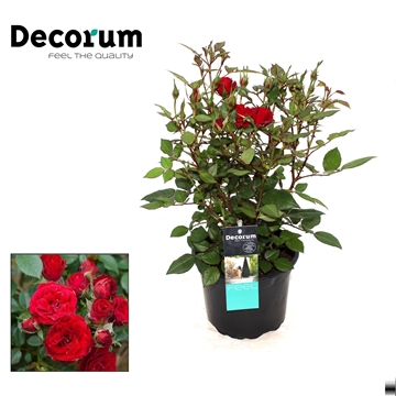 Rosa Chonchita Decorum P17