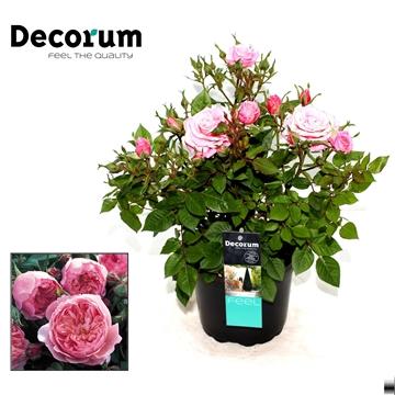 Rosa Feline Decorum P17