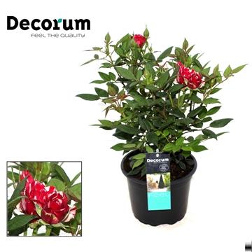 Rosa Gigi Decorum P17