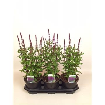 Salvia ne Caradonna