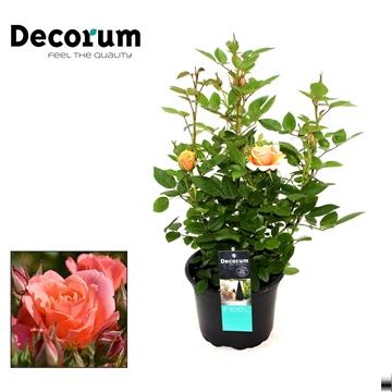 Rosa Sabia Decorum