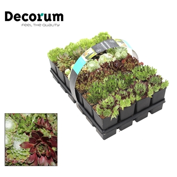 Sempervivum 24-pack Decorum P7