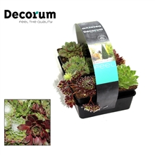 Sempervivum 6-pack Decorum P7