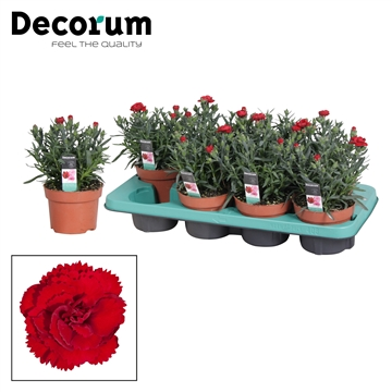 Dianthus - 13 cm - Colores Sangre (Dark Red) - Decorum