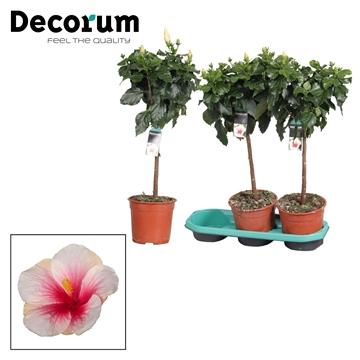 Hibiscus op stam - 19 cm - Geisha (white/pink) - Decorum