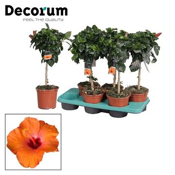 Hibiscus op stam - 15 cm - Circus (orange) - Decorum