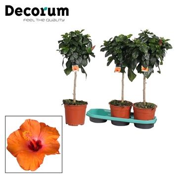 Hibiscus op stam - 19 cm - Circus (orange) - Decorum