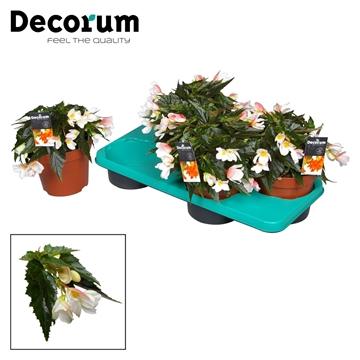 Begonia Marshmallow