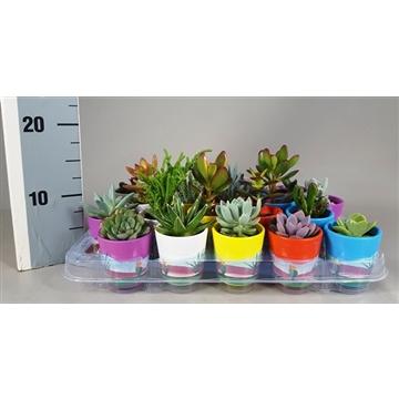 Succulent 5,5 cm mix in Mexico Pot