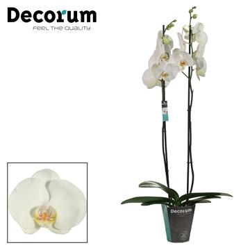 Phalaenopsis 2 tak Ikaria (Russia Decorum)