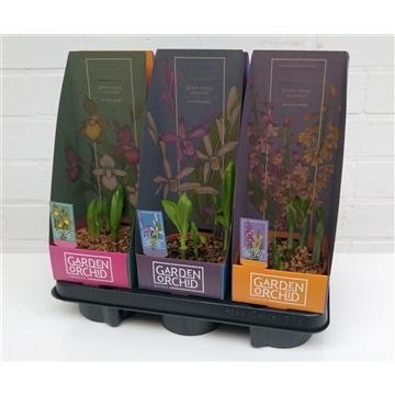 Garden Orchids mix 12 cm met potcover