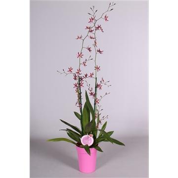 MoreLIPS® Oncidium 'Mieke von Holm' 2 tak met roze pot