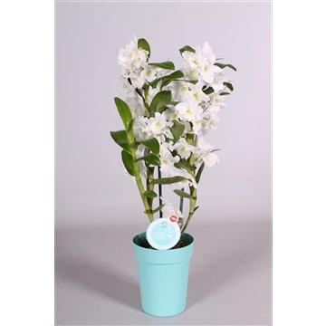MoreLIPS® Dendrobium 'Nobile' 2 tak met blauwe pot