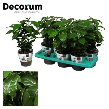 Coffea Arabica (Decorum)