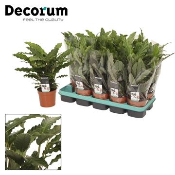 Calathea 12cm tropistar decorum