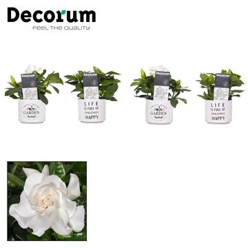 Gardenia pot Life/Garden