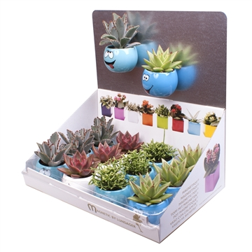 Ceramic Blue Funny Face magnetic  by LUNDAGERTM  with Succulent MIX in display with Show plate