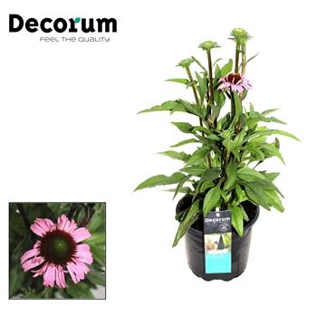 Echinacea Roze Decorum P17
