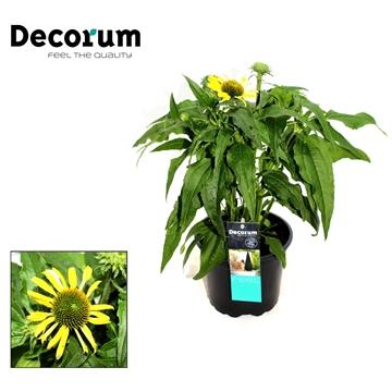 Echinacea Geel Decorum P17