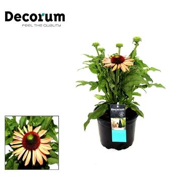 Echinacea Oranje Decorum P17
