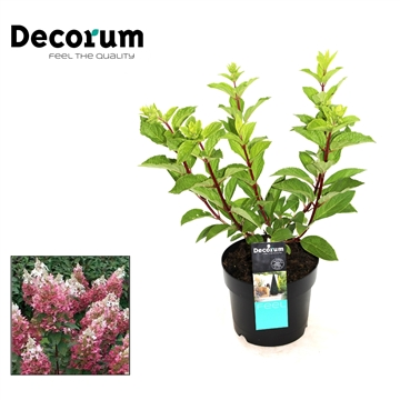 Hydrangea Pinky winky Decorum P19