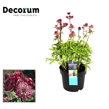Astrantia Major Rood Decorum P17