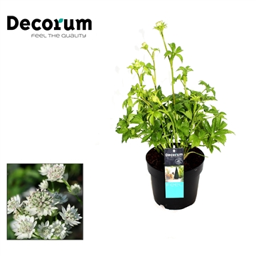 Astrantia Major Wit Decorum P17