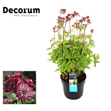 Astrantia Major Rood Decorum P21