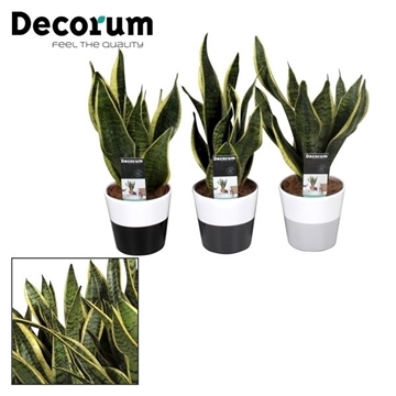 Collectie Black & White - Sansevieria in Amy 2 tone (Decorum)