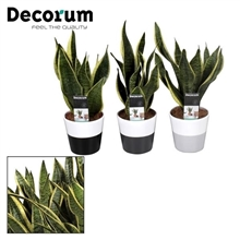 Collectie Black & White - Sansevieria superba in Amy 2 tone (Decorum)