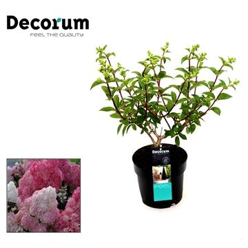Hydrangea paniculata Sundae fraise Decorum