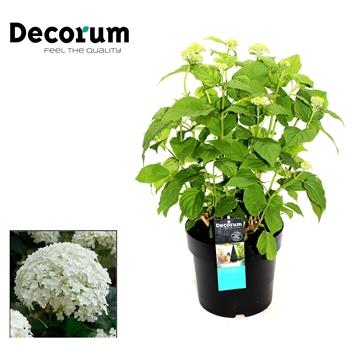 Hydrangea Arborescens Annabelle Decorum