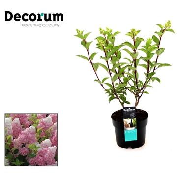 Hydrangea paniculata Vanille Frais Decorum