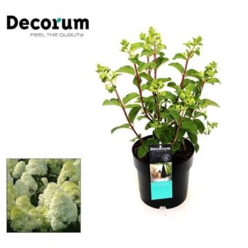 Hydrangea paniculata Silver dollar Decorum