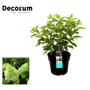 Hydrangea paniculata Phantom Decorum