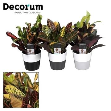 Collectie Black & White  - Croton kopstek mix in Amy 2 tone (Decorum)