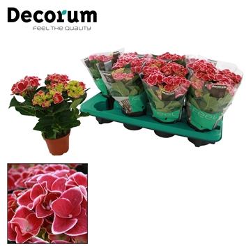Hydrangea macr. 10cm bi color Red Ace 3+ bloem