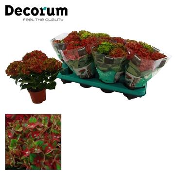 Hydrangea macr. p10cm Schlöss Wackerbarth 3+ bloem
