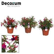 Fuchsia diverse kleuren per laag
